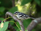 IMG_7154 Black and White Warbler.jpg