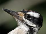 IMG_9006 Hairy Woodpecker -  juvenile.jpg