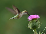 IMG_9318 Ruby-throated Hummingbird.jpg