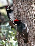 IMG_6878 Acorn Woodpecker male.jpg