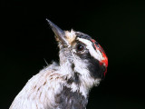 IMG_9596 Downy Woodpecker male.jpg