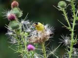 IMG_0233 American Goldfinch.jpg
