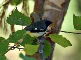 IMG_0276 Black-throated Blue Warbler.jpg