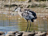 IMG_1161a Great Blue Heron.jpg