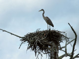 IMG_1341 Great Blue Heron.jpg