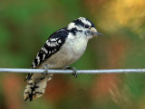 IMG_1540 Woodpecker.jpg