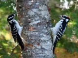 IMG_1545 Woodpeckers.jpg