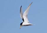 Little Tern (Sternula albifrons) - småtärna