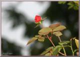 Roses & Fuchsias  in December S Oregon Coast