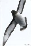 BDU06_3040_Cape-Pigeon.jpg