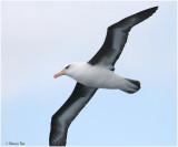 BDU06_3100-Campbell-Albatross.jpg