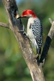 7020834-Red-bellied-Woodpecker.jpg