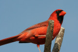 70311_398_Northern-Cardinal.jpg