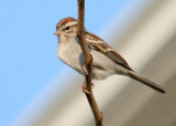 70311_436_Chipping-Sparrow.jpg