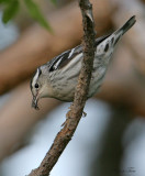 1121 - Black-and-white Warbler