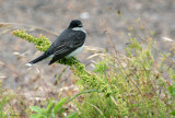 1172 - Eastern Kingbird