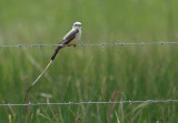 1174 - Scissor-tailed Flycatcher