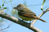 1176 - Great Crested Flycatcher