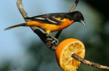 1157 - Baltimore Oriole