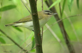 1142 - Red-eyed Vireo
