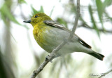 1145 - Yellow-throated Vireo