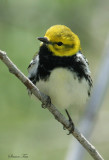 1127 - Black-throated Green Warbler