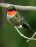 1012 - Ruby-throated Hummingbird