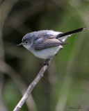 1119 - Blue-gray Gnatcatcher