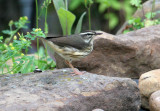 1118 - Louisiana/Northern Waterthrush