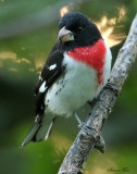 1150 - Rose-breasted Grosbeak
