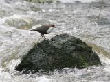 Birds in Sweden / Gulls to Bunting