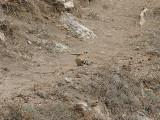 Hoopoe, Härfågel, Upupa epops