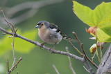 Common Chaffinch, Bofink, Fringilla coelebs maderensis