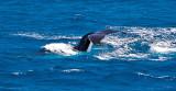 Humpback whale tail slap 2