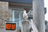 IMG05871.jpg typical gull attitude (San Francisco, see notes)