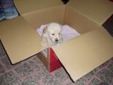 Golden Retriever Puppy Momo