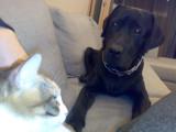 Labrador Retriever Moca and adopted stray Cat