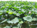 Water Lily in Lake XiHu Hangzhou City