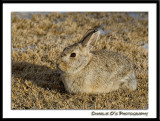 Cottontail...