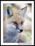 Foxy close-up...