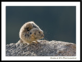 Pika with an Itch…