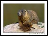 A Marmot Portrait…