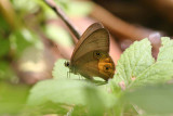 Brown Ringlet, Kingfisher Park,  Australia