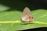 Dusky- blue Hairstreak, El Valle, Panama
