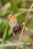 Small Heath Butterfly, Camargue, France
