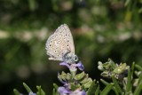 Chapman's Blue Butterfly, Camargue, France