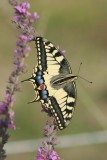 Swallowtail Butterfly, Camargue,  France