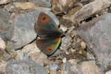 Common Brassy Ringlet Butterfly, Pyrenees