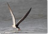 Gulls / Terns