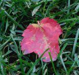 Fall red.jpg(114)